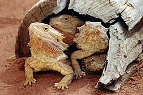 Alice Springs Reptile Centre - SA Accommodation