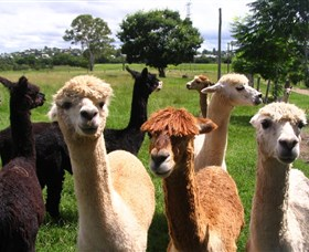 Banyandah Alpacas - SA Accommodation