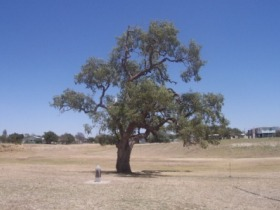 Historic Coolabah Tree - SA Accommodation