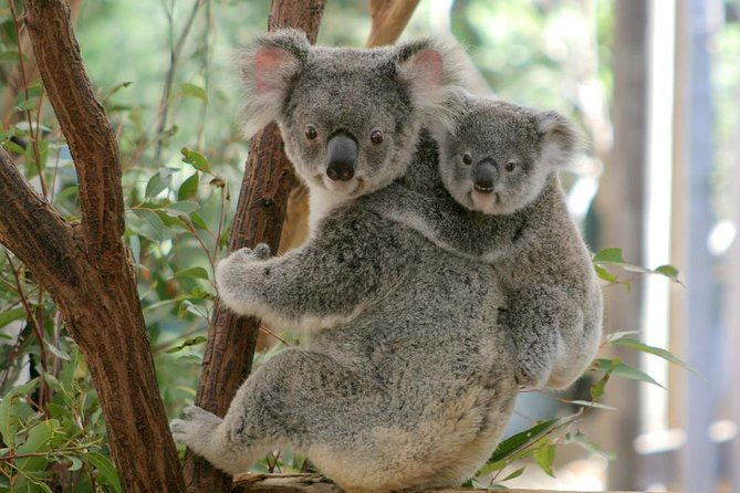 Lone Pine Koala Sanctuary Day Pass - SA Accommodation