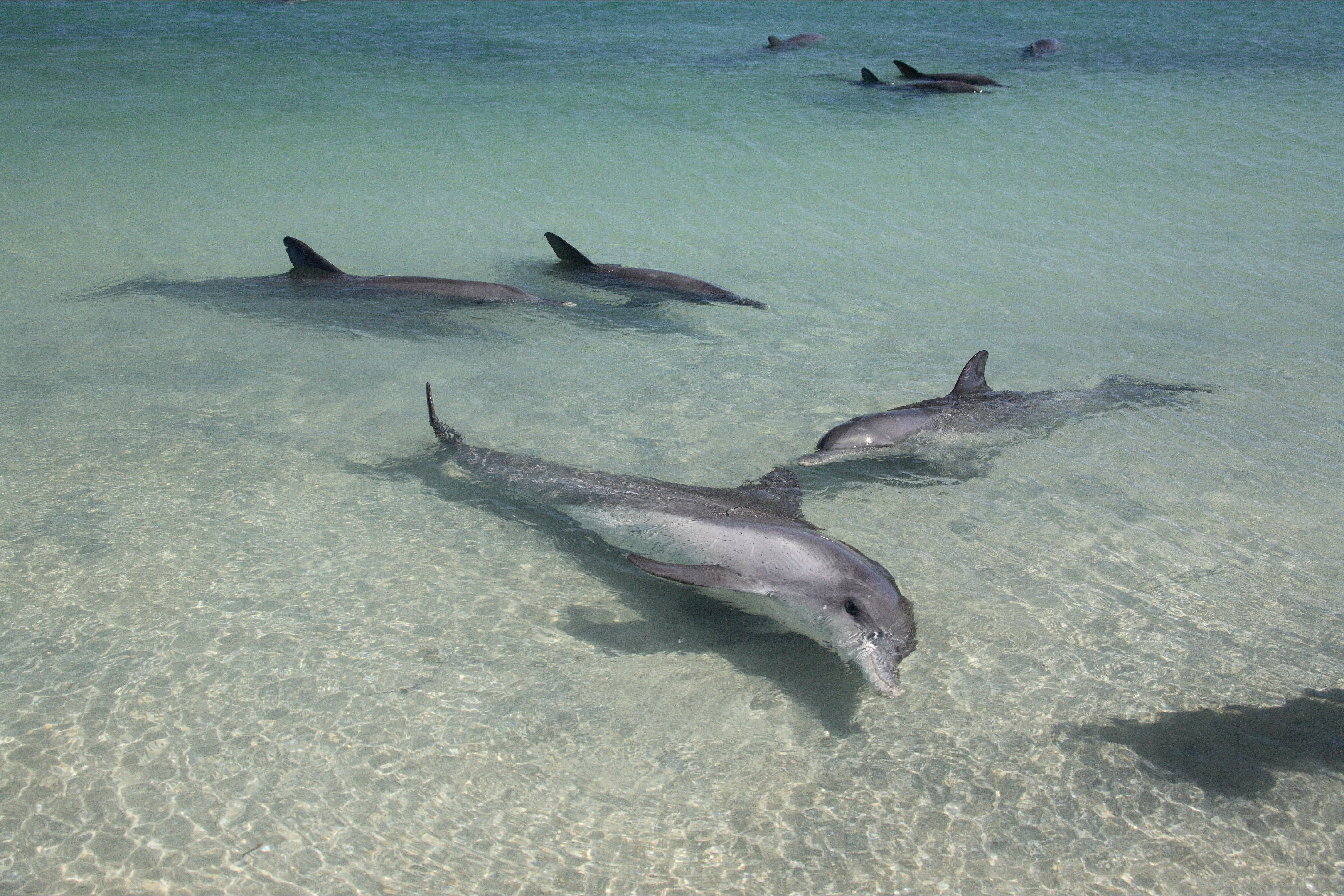 Dolphins of Monkey Mia - SA Accommodation