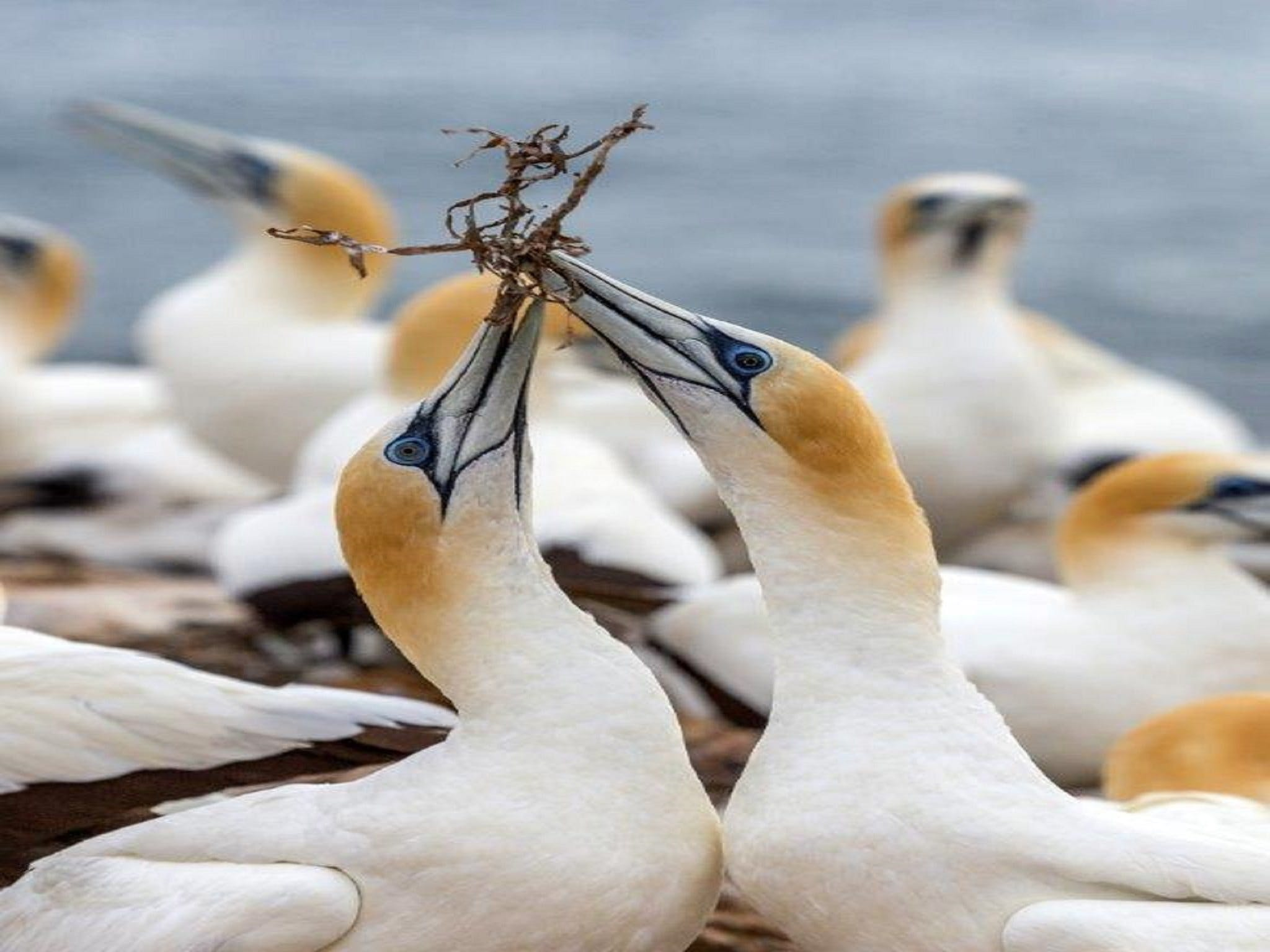 Gannets in Portland - SA Accommodation